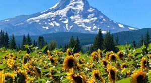 You'll Be Absolutely Delighted By The Endless Sunflower Fields At Mt. View Orchards In Oregon