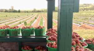 At Kelley's Berry Farm Just Outside Of Nashville, You Can Pick Your Own Farm-Fresh Berries For Yourself