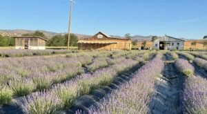 Enjoy Warm Scones With The Farm Tour At Capay Valley Lavender In Northern California