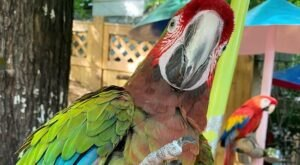 Feed And Pet Over 100 Different Kinds Of Parrots At Parrot Mountain In Tennessee