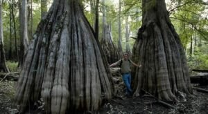 Explore A South Carolina Forest With Some Giant Trees That Are Hundreds Of Years Old