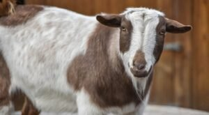 Go On A Walk With Goats At The Maryland Zoo's Goat Trek Experience