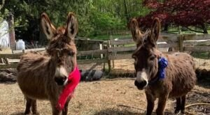 Cuddle The Most Adorable Rescued Farm Animals For Free At Locket's Meadow Farm In Connecticut