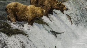 This Summer, Take Bear Watching In Alaska To The Next Level When You Hike To Brooks Falls
