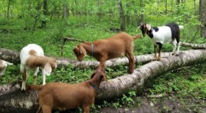 Go Hiking With Goats At Hoof It Galena In Illinois For A Unique Adventure