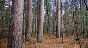 An Enchanted Forest Awaits When You Visit The Roscommon Red Pine Natural Area In Michigan
