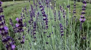 Sweet Streams Lavender Is the Best Lavender Farm In Kansas That You've Never Heard Of