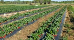 Come Pick Strawberries Across Hundreds Of Acres At Southern Belle Farm In Georgia