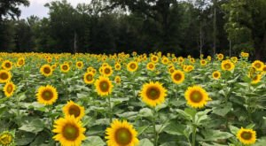 Most People Don't Know About This Magical Sunflower Field Hiding In Alabama