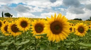 Smithmyer's Farm Has Sunflower Maze In Pennsylvania That's Just As Magnificent As It Sounds