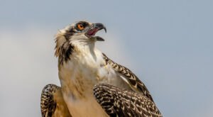 Go Hiking With Ospreys In Iowa For An Adventure Unlike Any Other