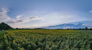 This Vibrant Sunflower Field In Kentucky Is In Bloom Right Now And It's Free To Visit