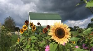 This Upcoming Sunflower Festival Near Pittsburgh Will Make Your Summer Complete