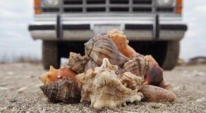 Hunt For Seashells Along The Beautiful Holly Beach In Louisiana