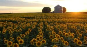 You Can Cut Your Own Flowers At The Festive Pheasant Run Farm In Iowa