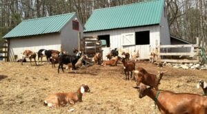 Visit Goats And Take Home Homemade Cheese At This New Hampshire Farm