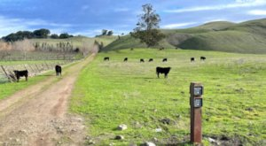 Hike With Cows On 11 Miles Of Trail At Tolay Lake Regional Park In Northern California