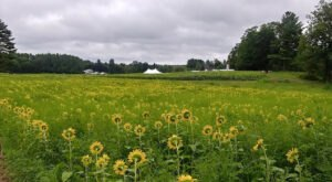 The New Hampshire Sunflower Festival Will Be Back For Another Year Of Fun & Festivities