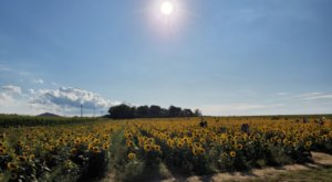 North Fork Sunflower Maze Is A Massive Sunflower Maze In New York That's Just As Magnificent As It Sounds