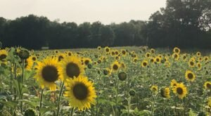 Forks of the River Wildlife Management Area In Tennessee Has A Sunflower Farm That's Just As Magnificent As It Sounds