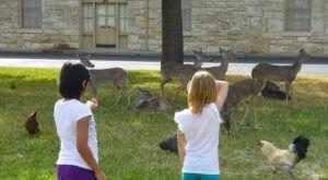Dozens Of Peacocks And Other Wildlife Roam Freely Outside Fort Sam Houston, A Historic Military Base