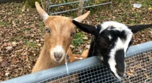 You Can Cuddle Goats And Do Goat Yoga At Faerylands Farm In Rural Tennessee