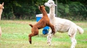 Chakana Sky Alpaca Farm In Connecticut Makes For A Fun Family Day Trip