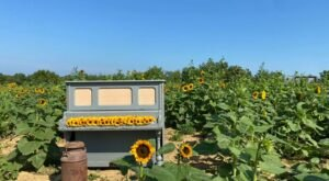 Stroll Through A Winding Sunflower Path And Pick Your Own At Sunflower Days In Kentucky