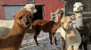 Harvard Alpaca Ranch In Massachusetts Makes For A Fun Family Day Trip