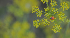 Beware Of Wild Parsnip, A Common Iowa Weed With Cytotoxic, Skin-Burning Sap