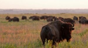 """Join Fellow Nature Lovers On This Unique """"Bison-Tennial"""" Hike In Missouri"""