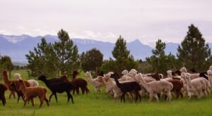 You Can Go Camping With Alpacas At Sentinel Ranch In Montana
