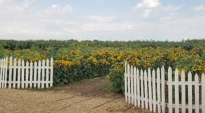 Surround Yourself With Vibrant Blooms At The Green Acres Dairy Sunflower Festival
