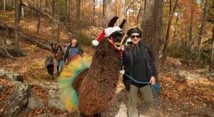 You Can Hike With Llamas At The Annual Llamapalooza Hike At Chimeny Rock State Park In North Carolina