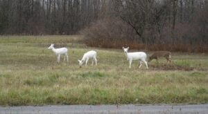 This Old Army Depot In New York Is Home To The Largest White Deer Herd In The World