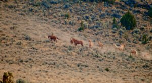Wild Horses Roam Free At Steens Mountain Wilderness Area In Oregon