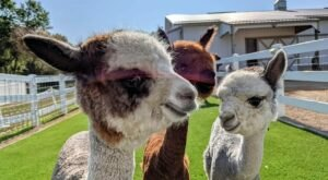 Eagle Eye Alpaca Farm In Wisconsin Makes For A Fun Family Day Trip