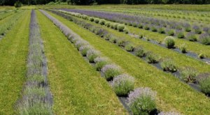 Spend An Idyllic Summer Day Surrounded By Fragrant Blooms When You Visit Luvin Lavender Farm In Ohio