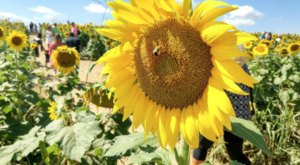 Virginia's Beaver Dam Sunflower Festival Might Just Be The Most Cheerful Event Of The Year