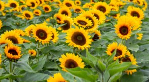 New Jersey's Holland Ridge Farms Is Opening Its Stunning Sunflower Fields This Fall