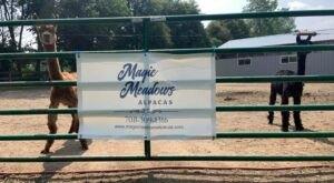 Magic Meadows Alpacas Farm In Illinois Makes For A Fun Family Day Trip