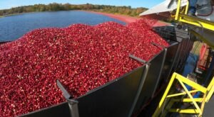 Take A One-Of-A-Kind Cranberry Harvest Tour In Massachusetts This Fall