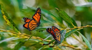 Thousands Of Monarch Butterflies Are Headed Straight For Cleveland This Fall