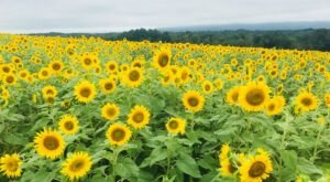 Walk Through 50 Acres Of Blooms At Meadowbrooke Gourds Sunflower Festival, The Most Beautiful Festival In Pennsylvania