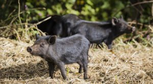 South Carolina's Wild Pig Population Has Spread Into All 46 Counties And The Numbers Are Disturbingly High