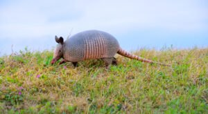 More And More Nine-Banded Armadillos Are Being Spotted In North Carolina And Here's What You Should Know