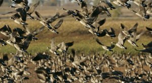 See The Sky Go Dark With Clouds Of Waterfowl On Wisconsin's 50-Mile Horicon Marsh Auto Tour