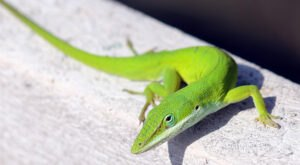 9 Things You May Not Know About The Cute Carolina Anole That Lives In South Carolina