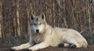 Spend The Day With Arctic Wolves At The Shalom Wildlife Zoo In Wisconsin