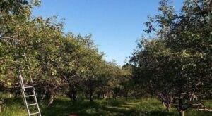 Sample 46 Delicious Apple Varieties In Wisconsin's Hilltop Apple Capital